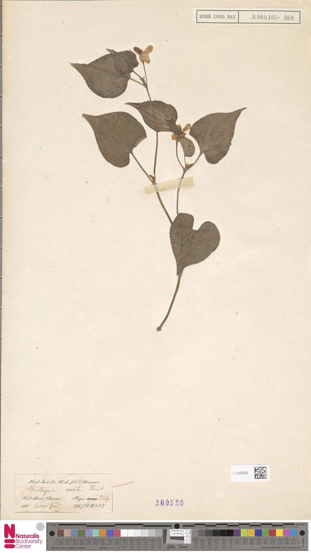 L.1542320 | Houttuynia cordata Thunb.