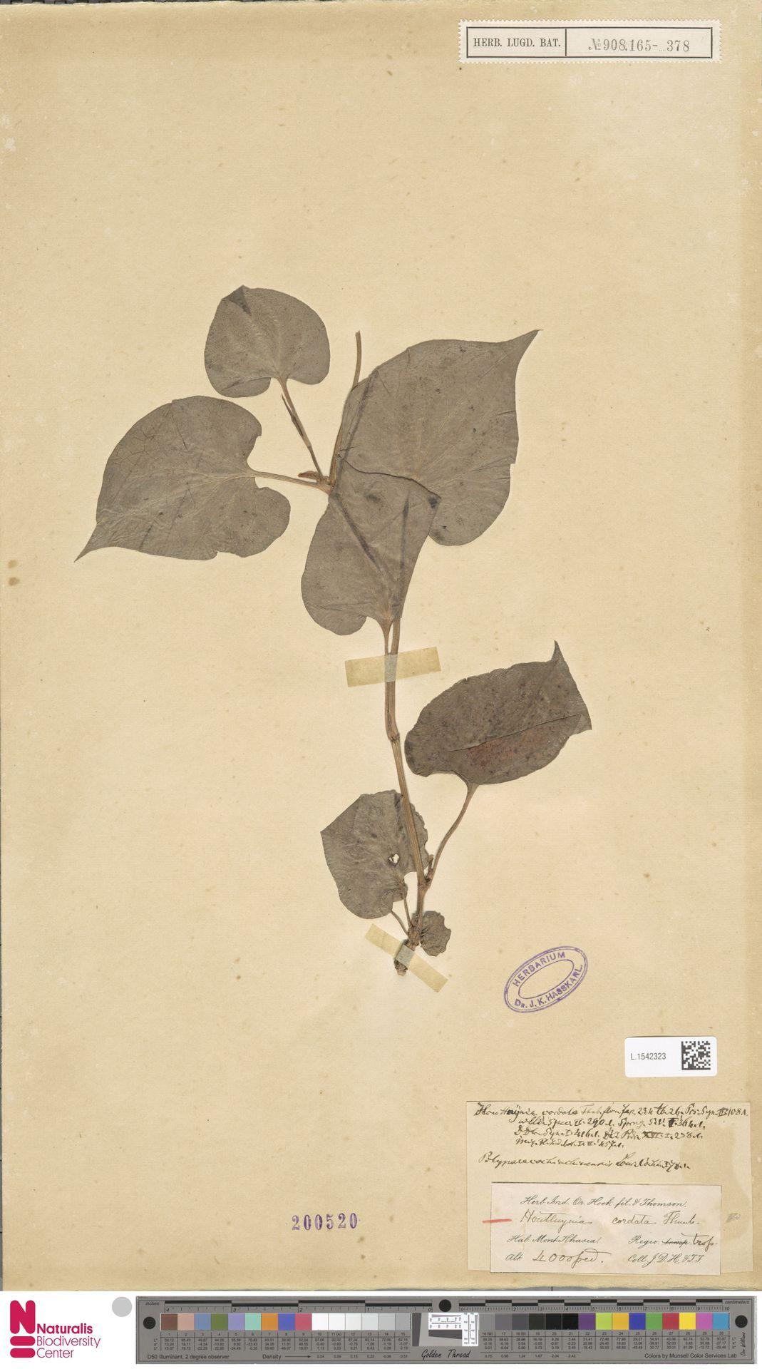L.1542323   Houttuynia cordata Thunb.