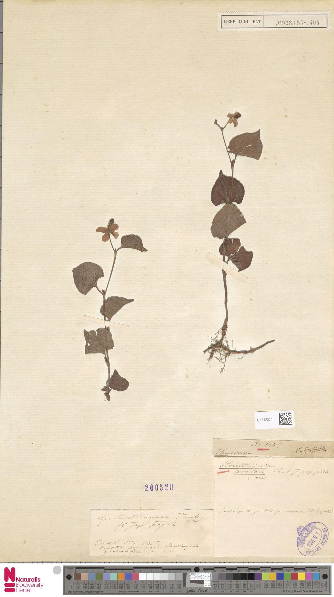 L.1542324   Houttuynia cordata Thunb.
