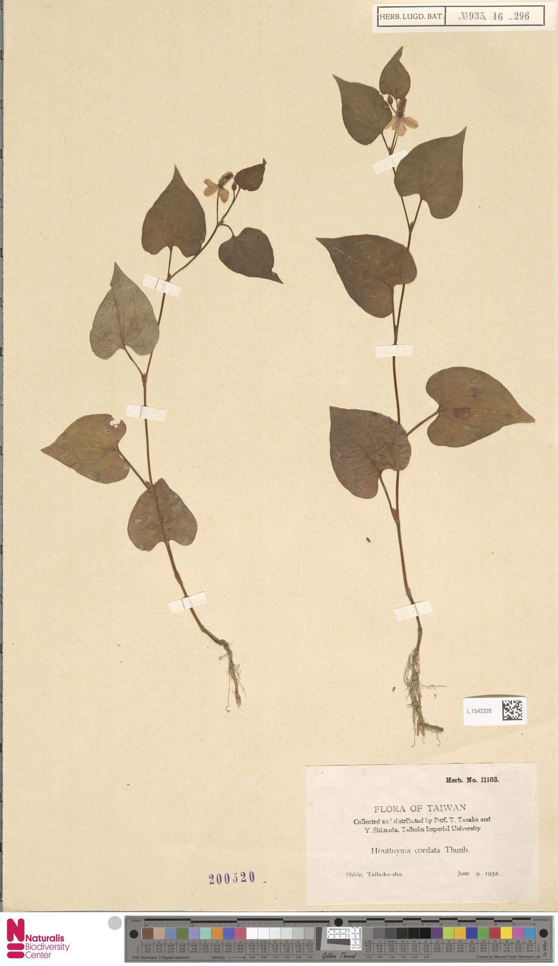 L.1542326   Houttuynia cordata Thunb.