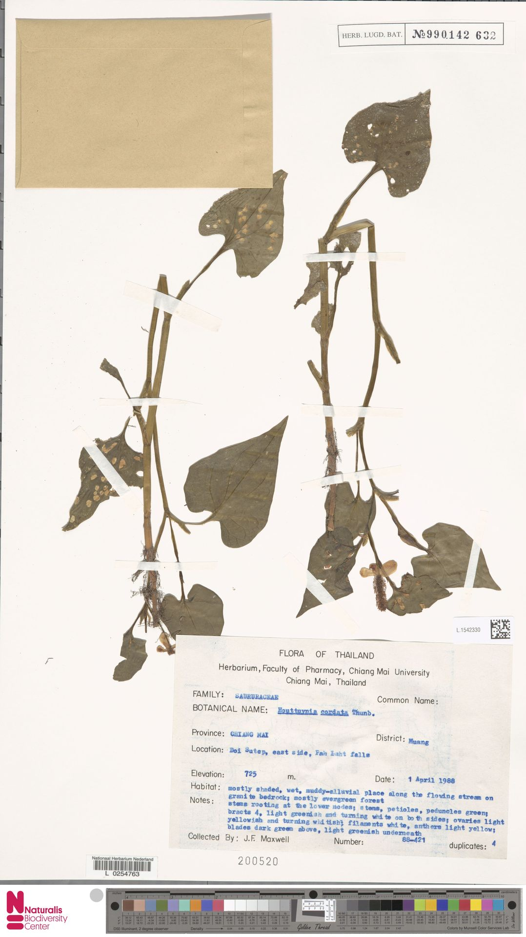 L.1542330 | Houttuynia cordata Thunb.