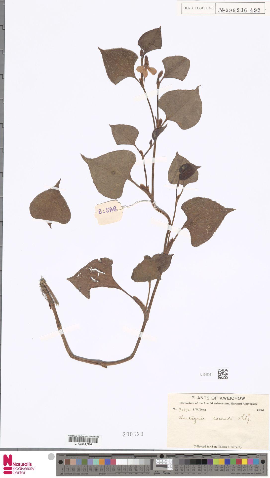 L.1542331   Houttuynia cordata Thunb.