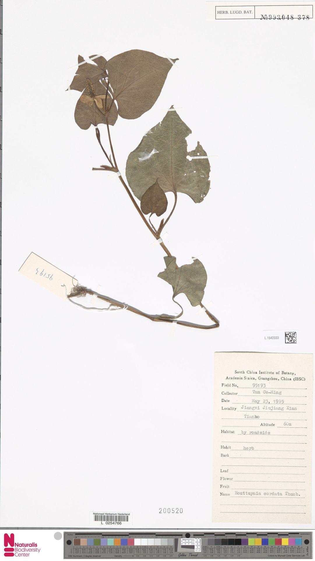 L.1542333 | Houttuynia cordata Thunb.