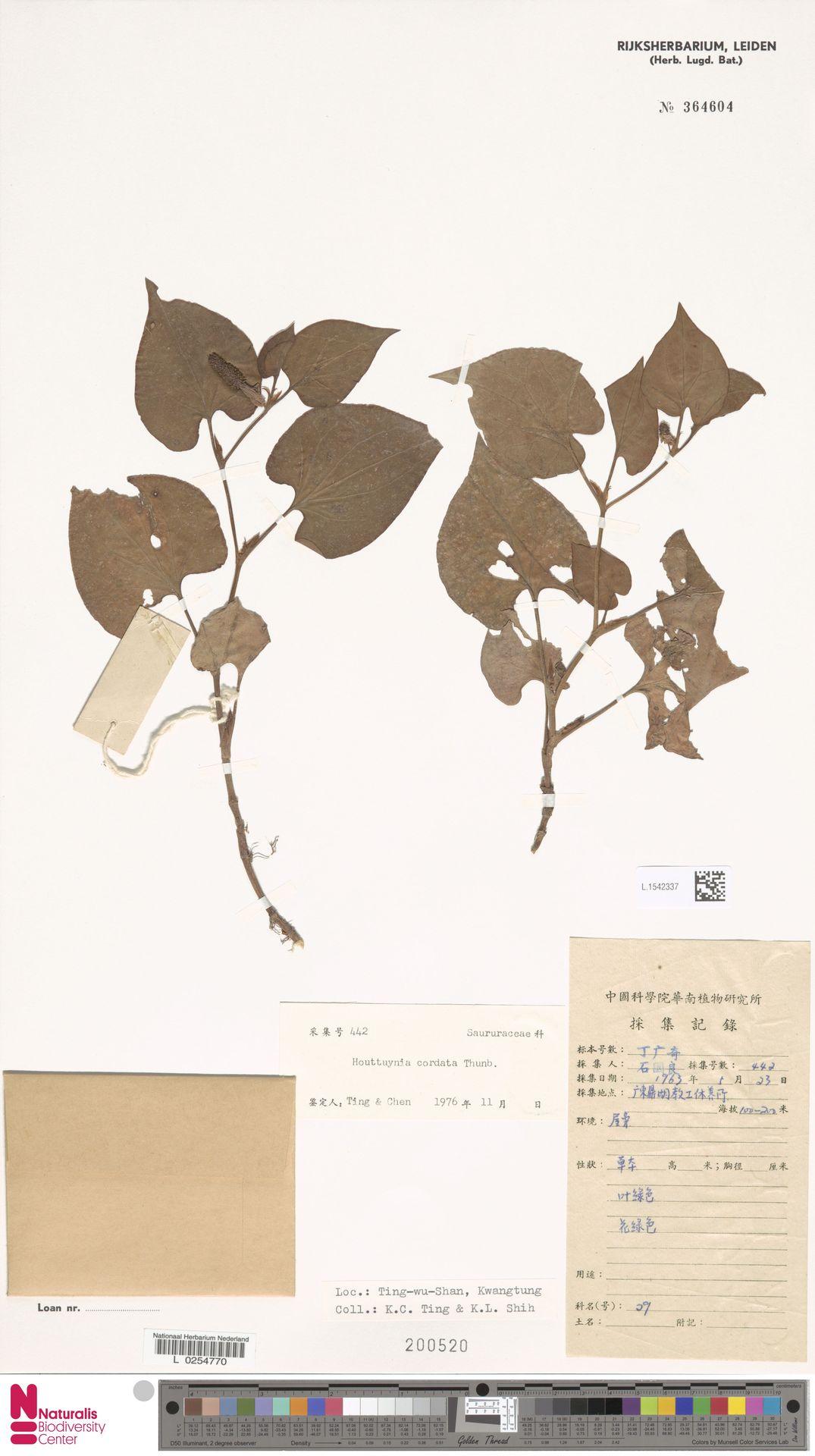 L.1542337   Houttuynia cordata Thunb.
