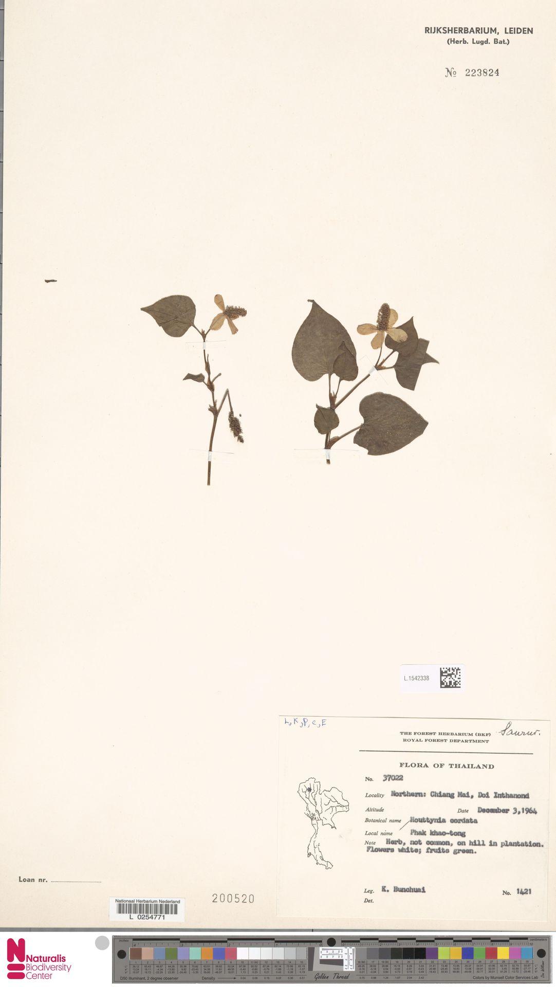 L.1542338 | Houttuynia cordata Thunb.