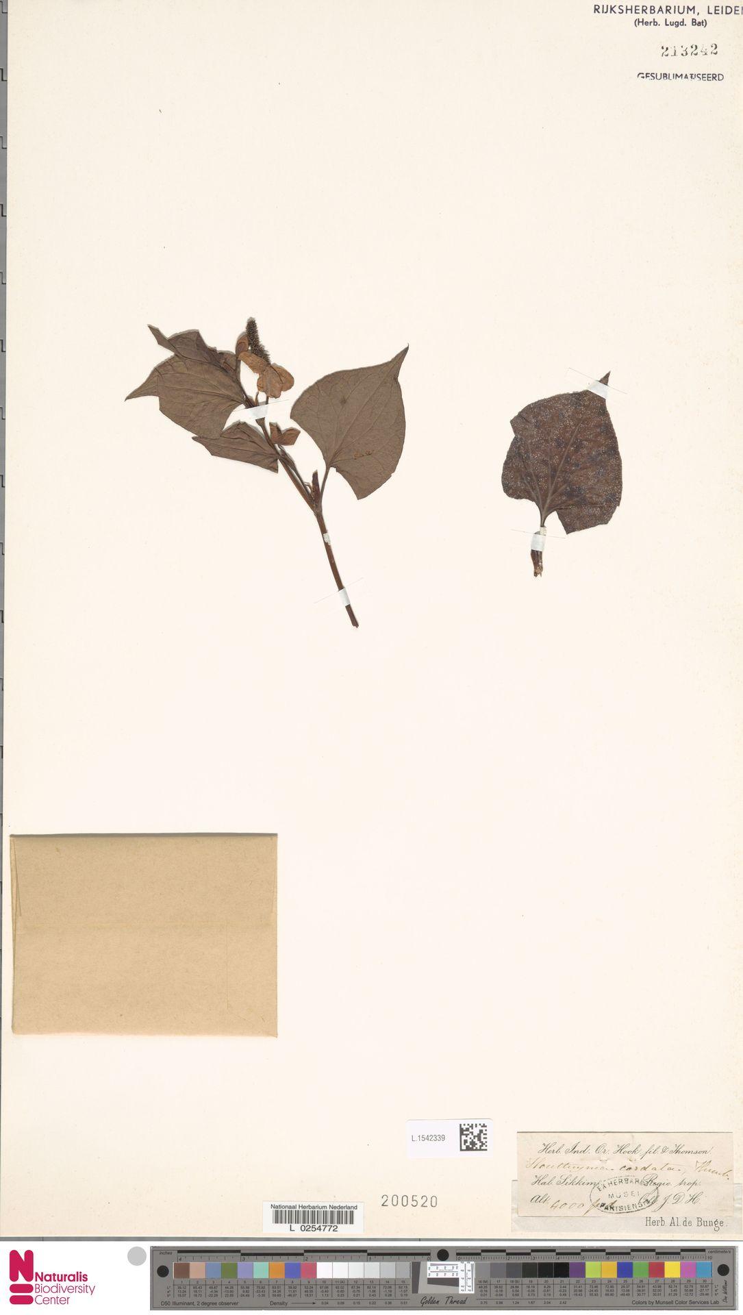 L.1542339 | Houttuynia cordata Thunb.