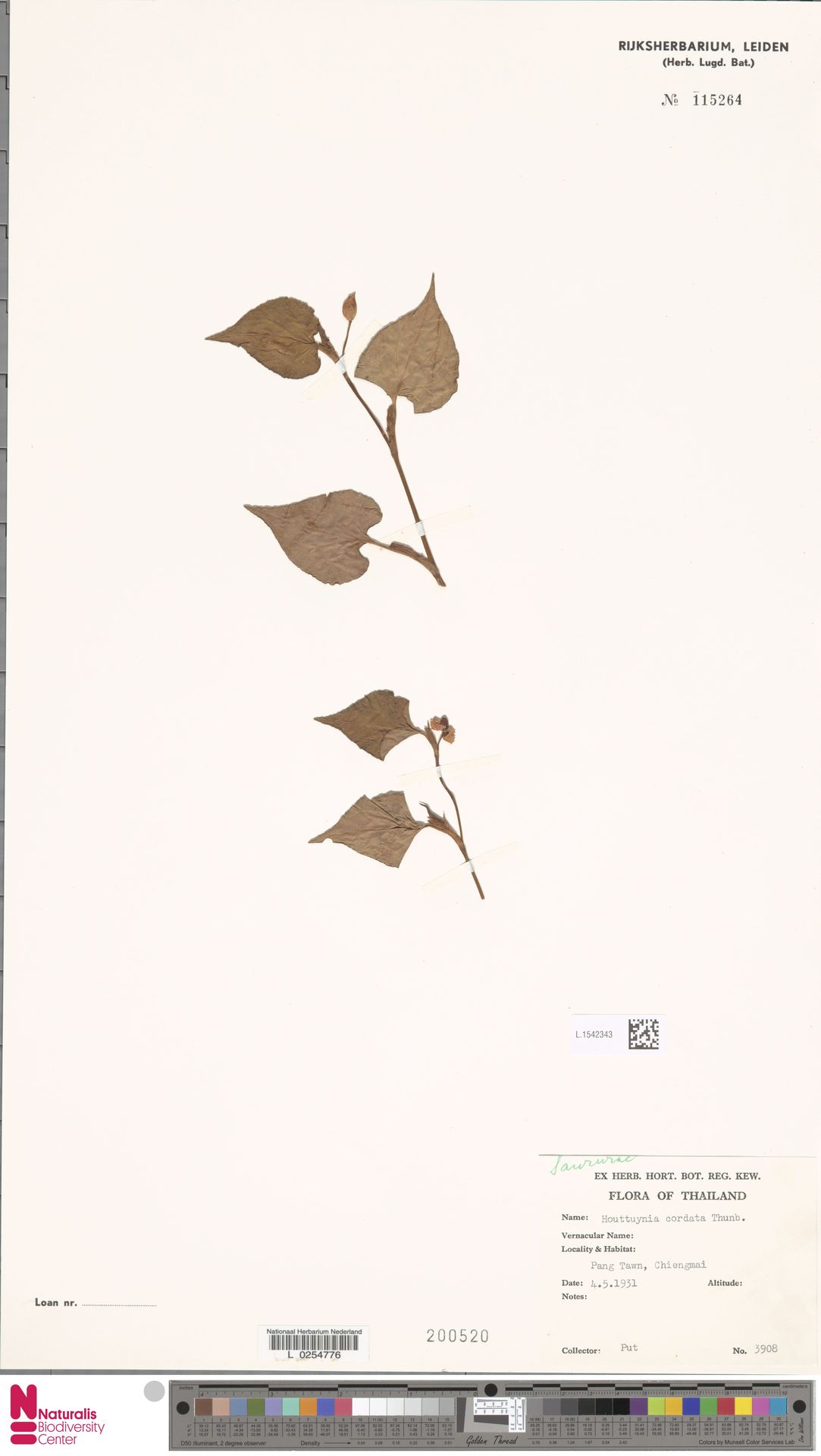 L.1542343 | Houttuynia cordata Thunb.
