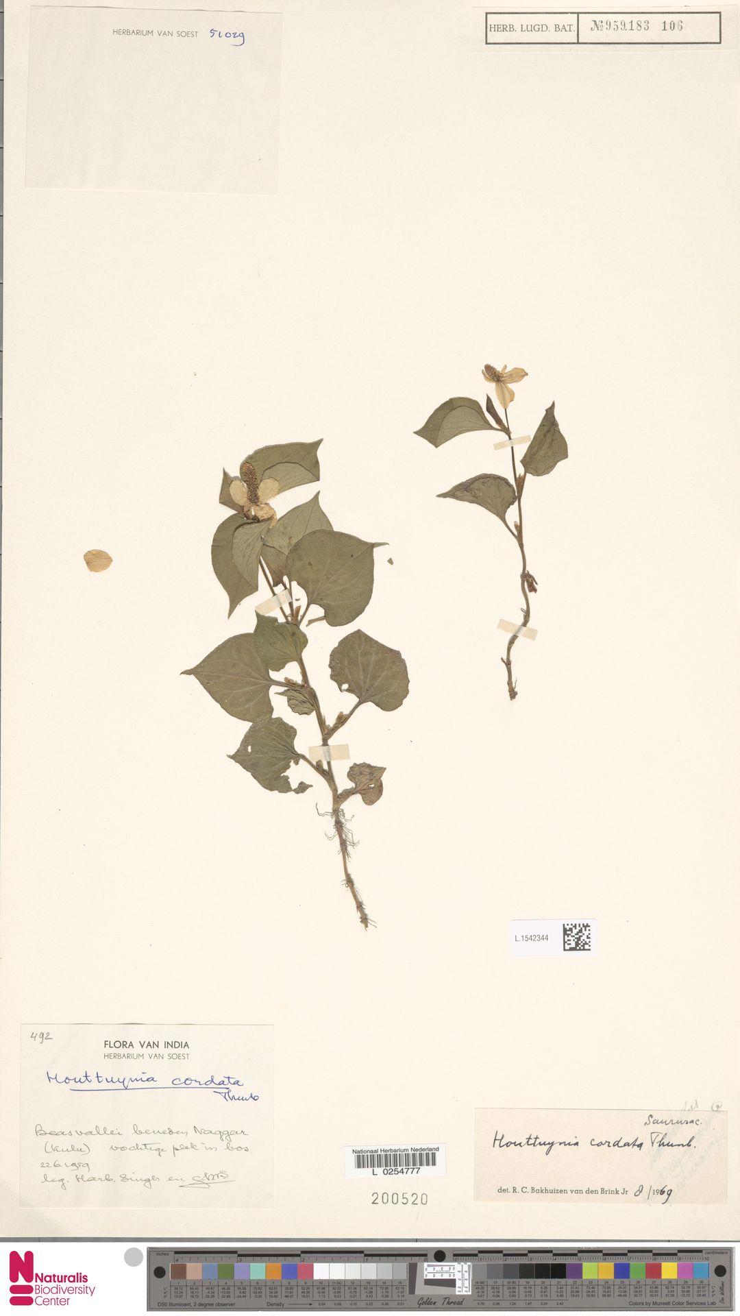 L.1542344 | Houttuynia cordata Thunb.