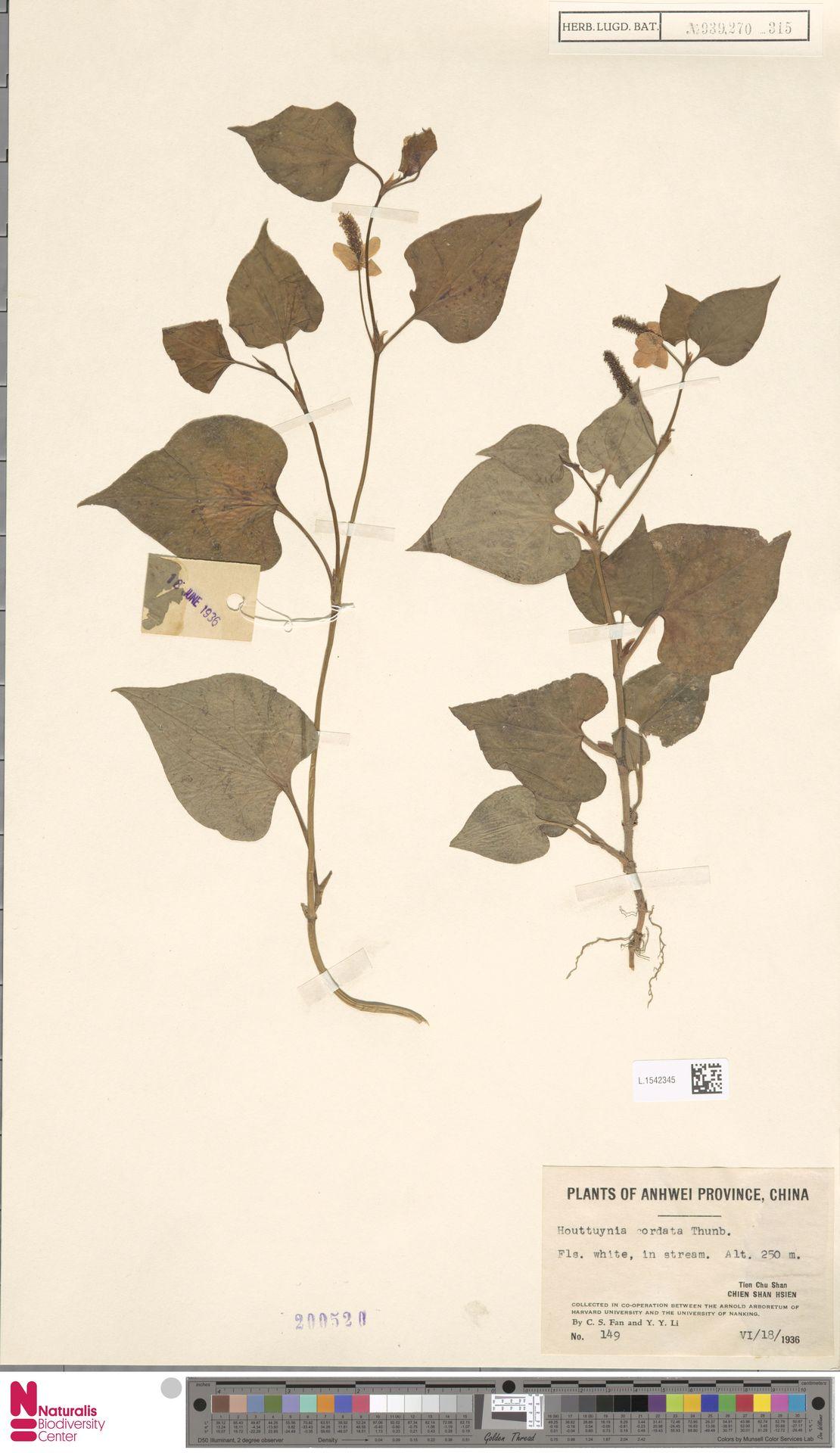 L.1542345   Houttuynia cordata Thunb.