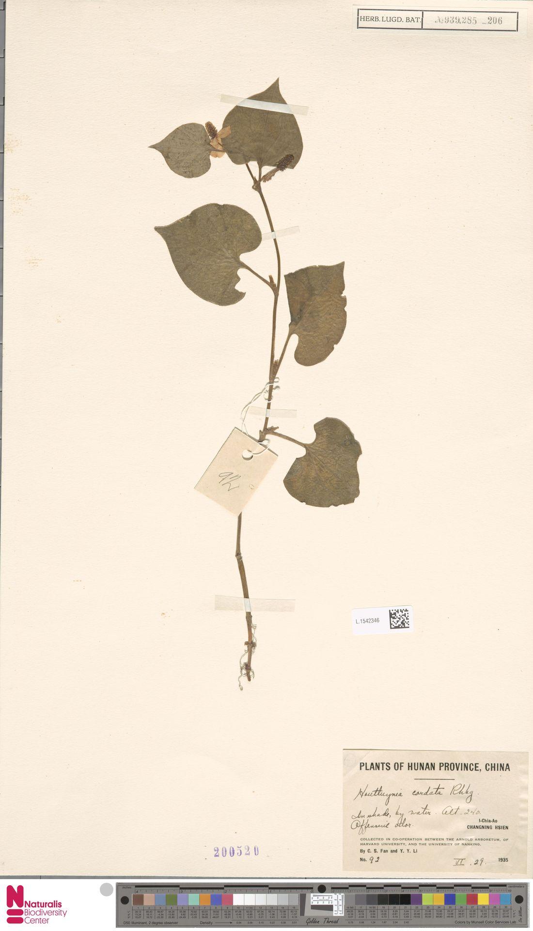 L.1542346   Houttuynia cordata Thunb.