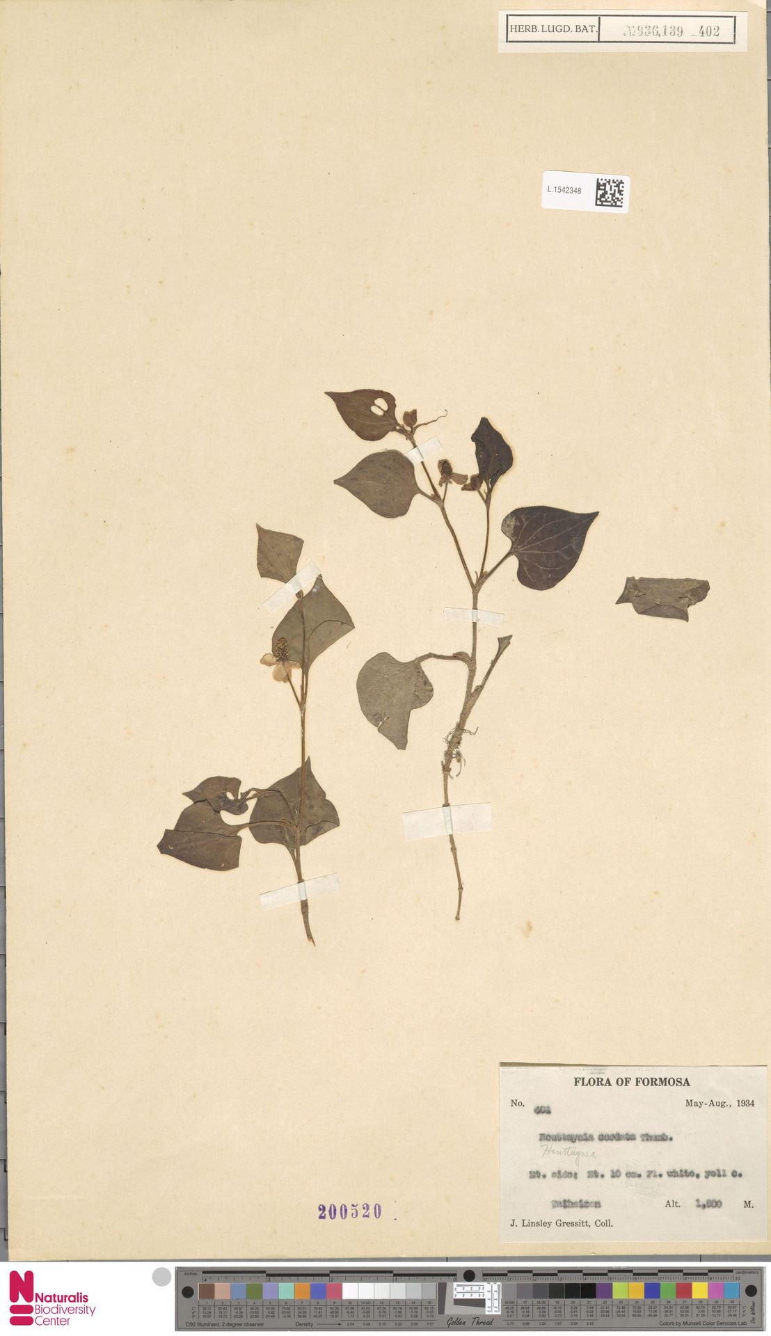 L.1542348   Houttuynia cordata Thunb.
