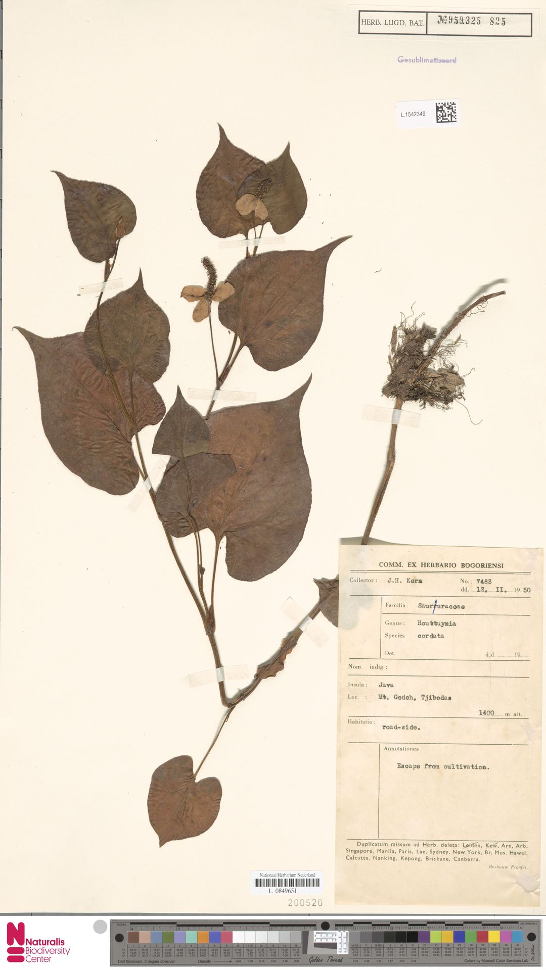 L.1542349 | Houttuynia cordata Thunb.