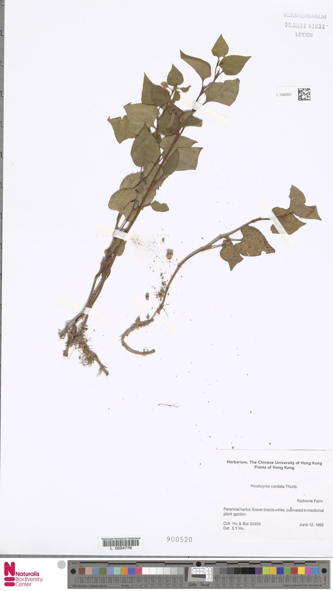 L.1542351   Houttuynia cordata Thunb.