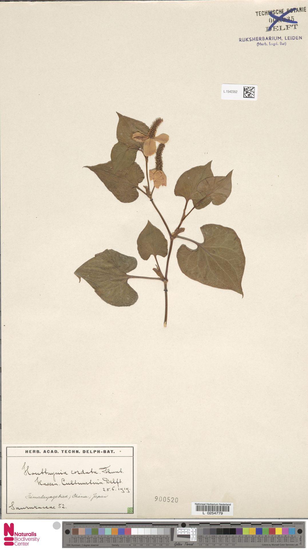 L.1542352   Houttuynia cordata Thunb.