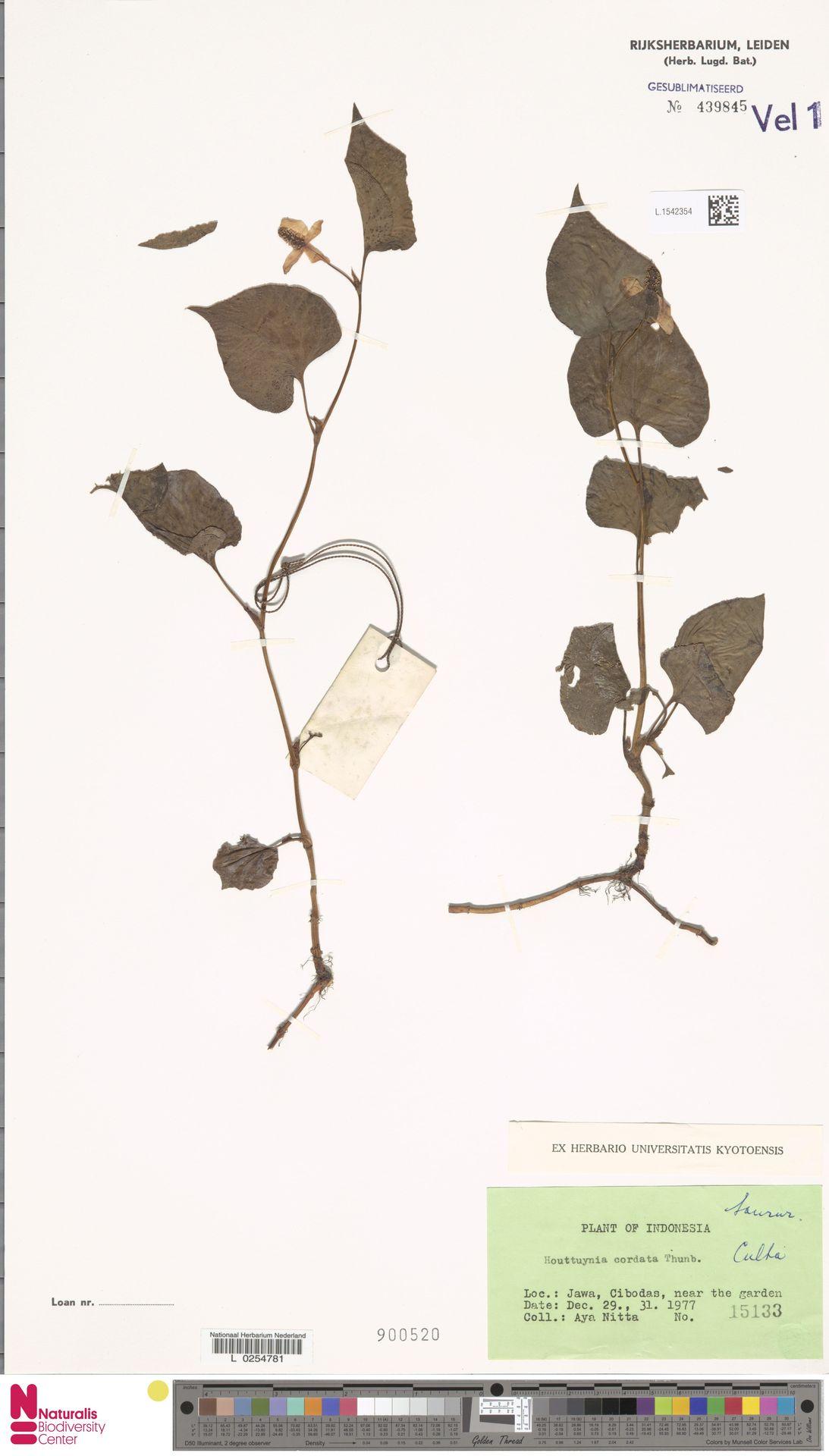 L.1542354 | Houttuynia cordata Thunb.