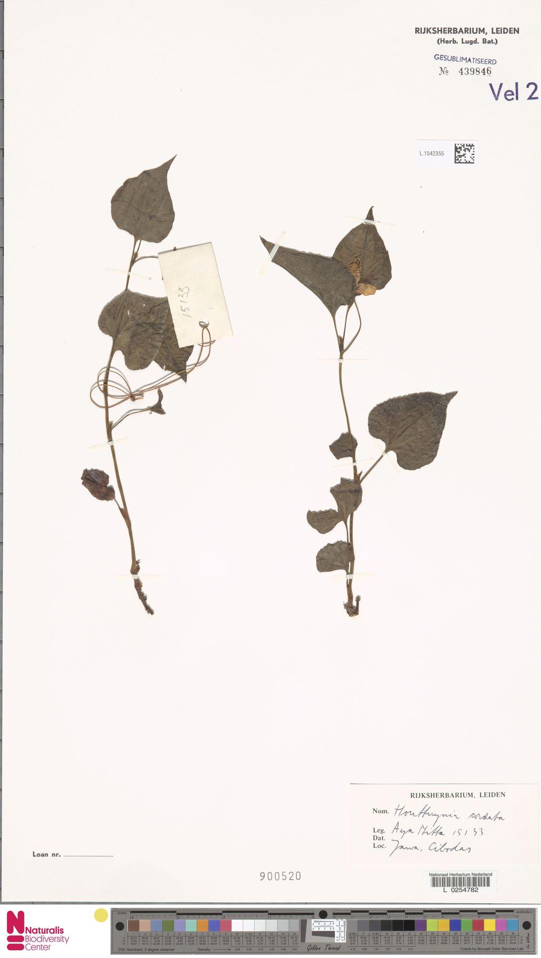 L.1542355 | Houttuynia cordata Thunb.