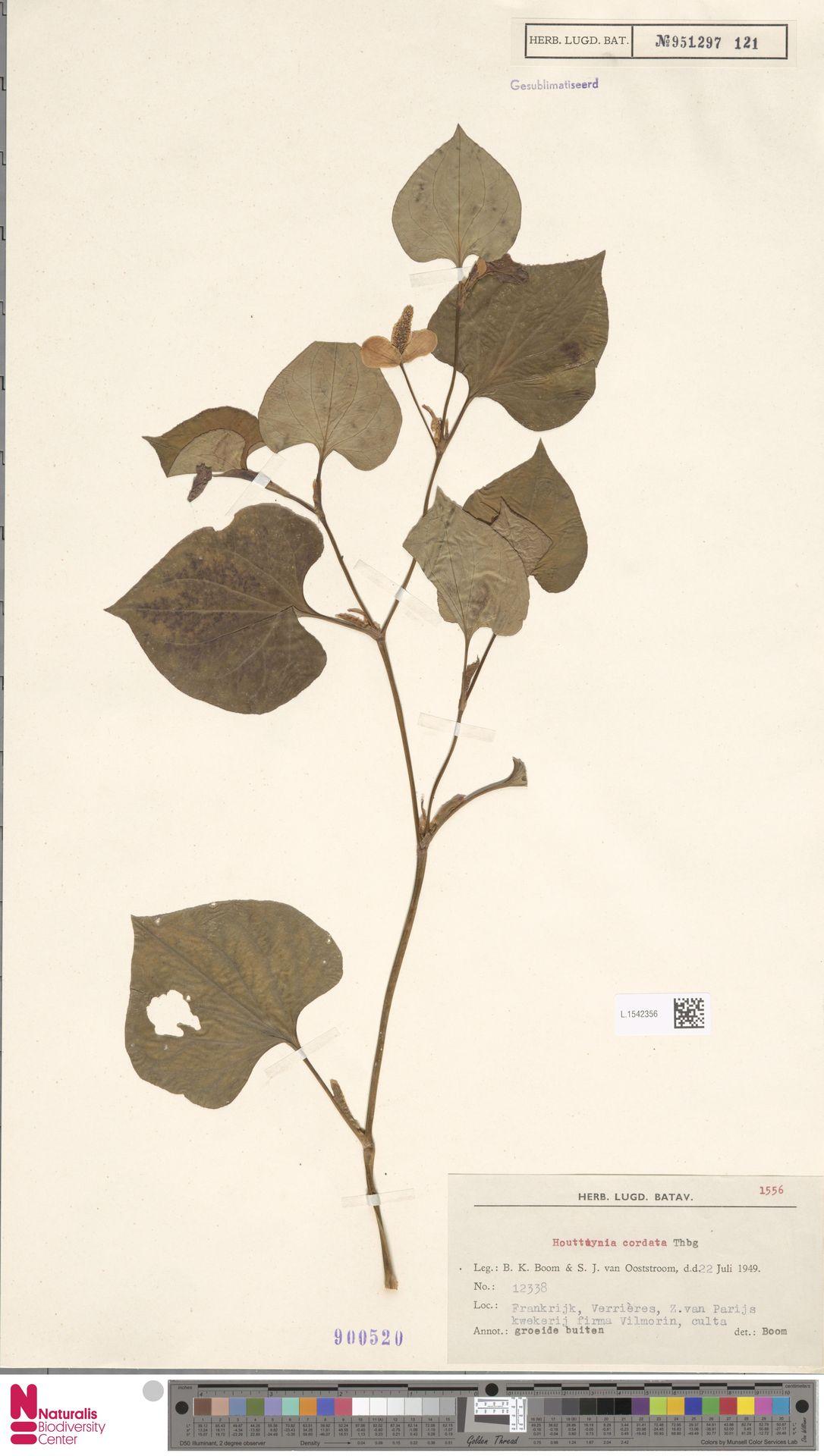 L.1542356   Houttuynia cordata Thunb.