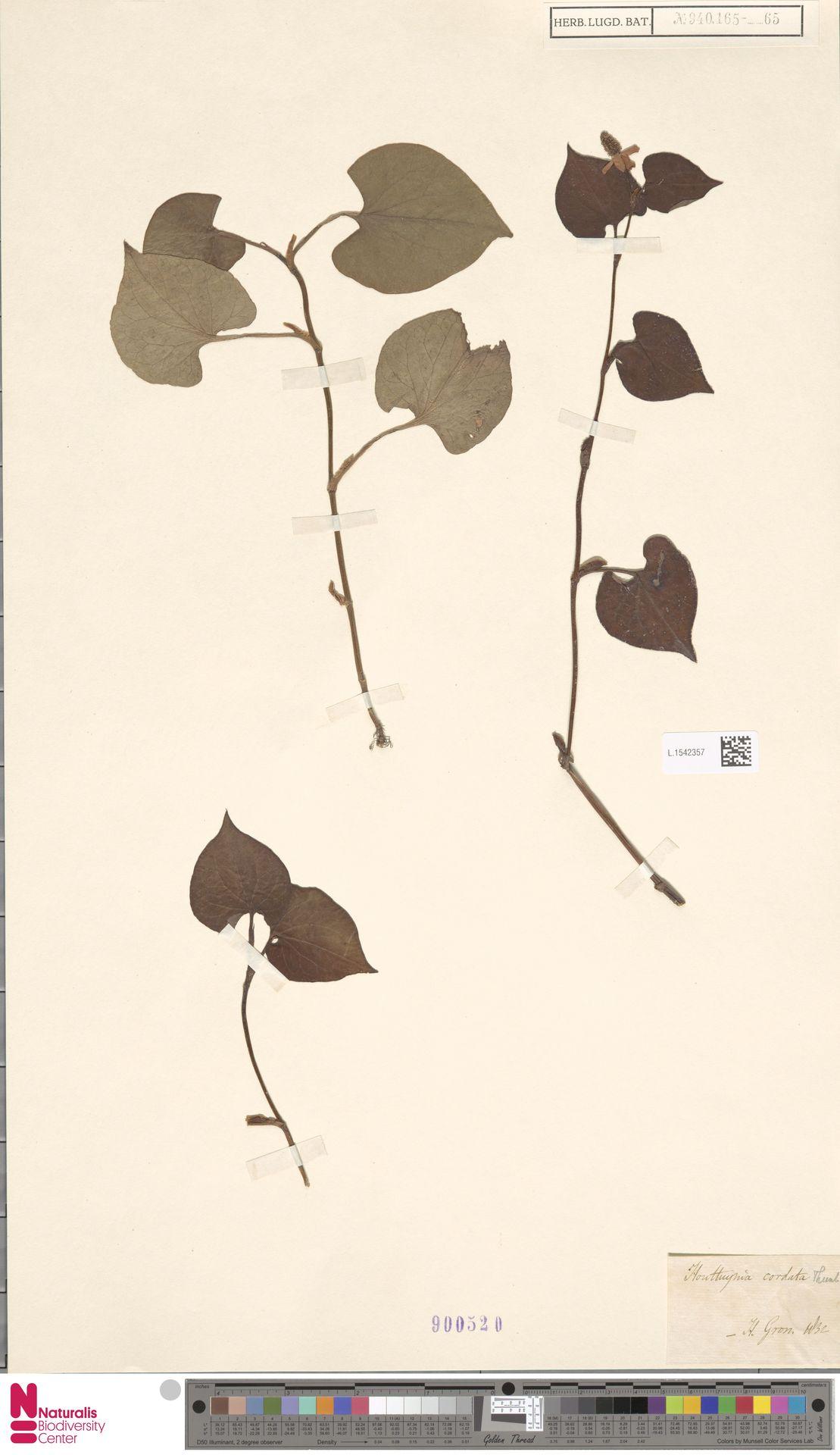 L.1542357   Houttuynia cordata Thunb.