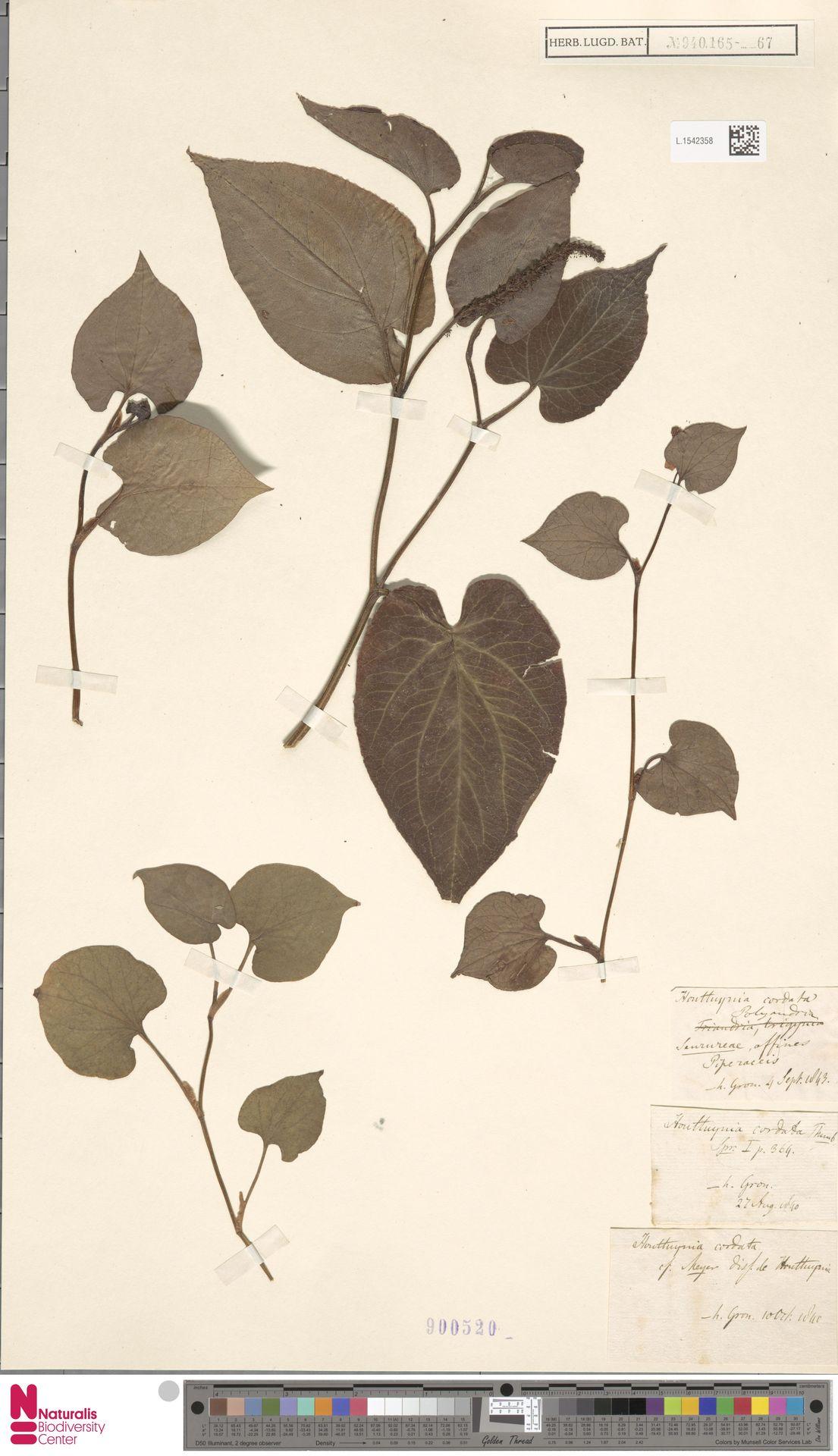 L.1542358   Houttuynia cordata Thunb.