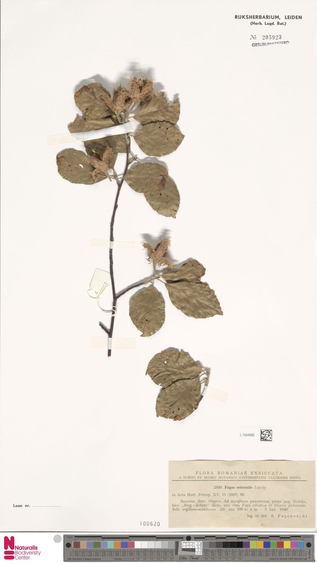 L.1554069 | Fagus orientalis Lipsky