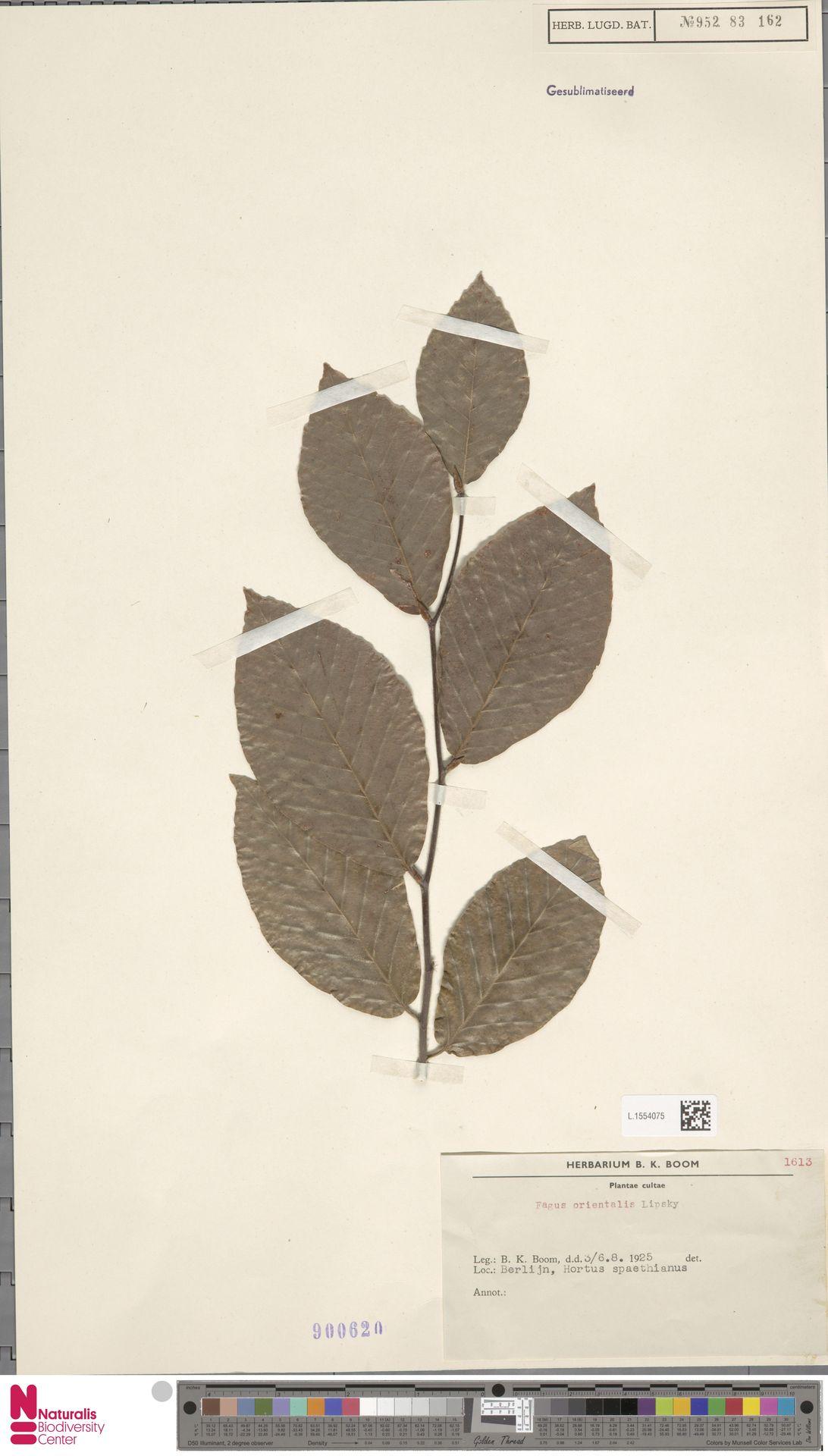 L.1554075   Fagus orientalis Lipsky