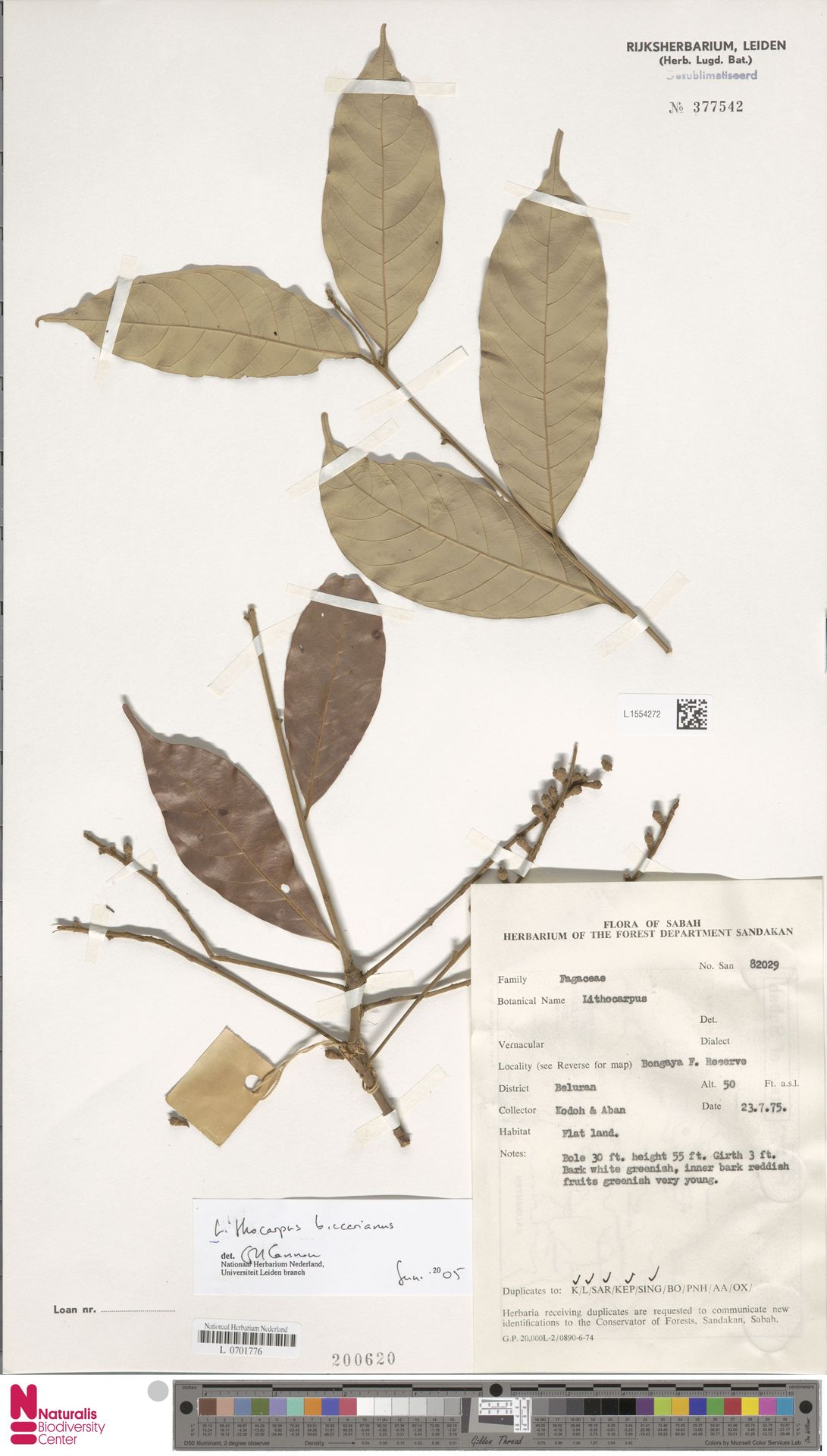 L.1554272 | Lithocarpus beccarianus (Benth.) A.Camus