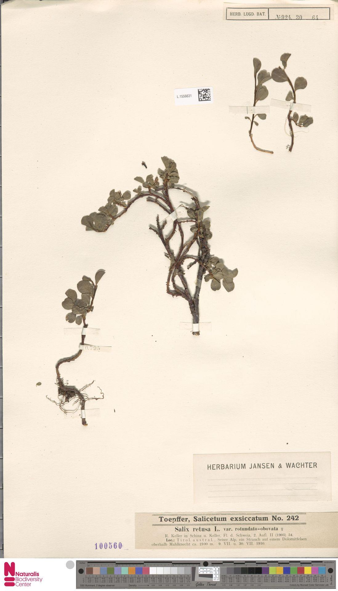 L.1556631 | Salix retusa var. rotundato-obovata