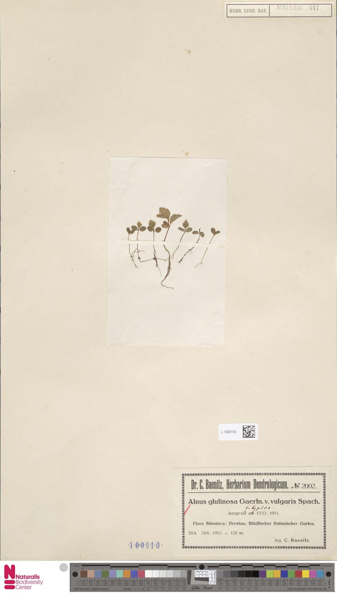 L.1560155 | Alnus glutinosa (L.) Gaertn.