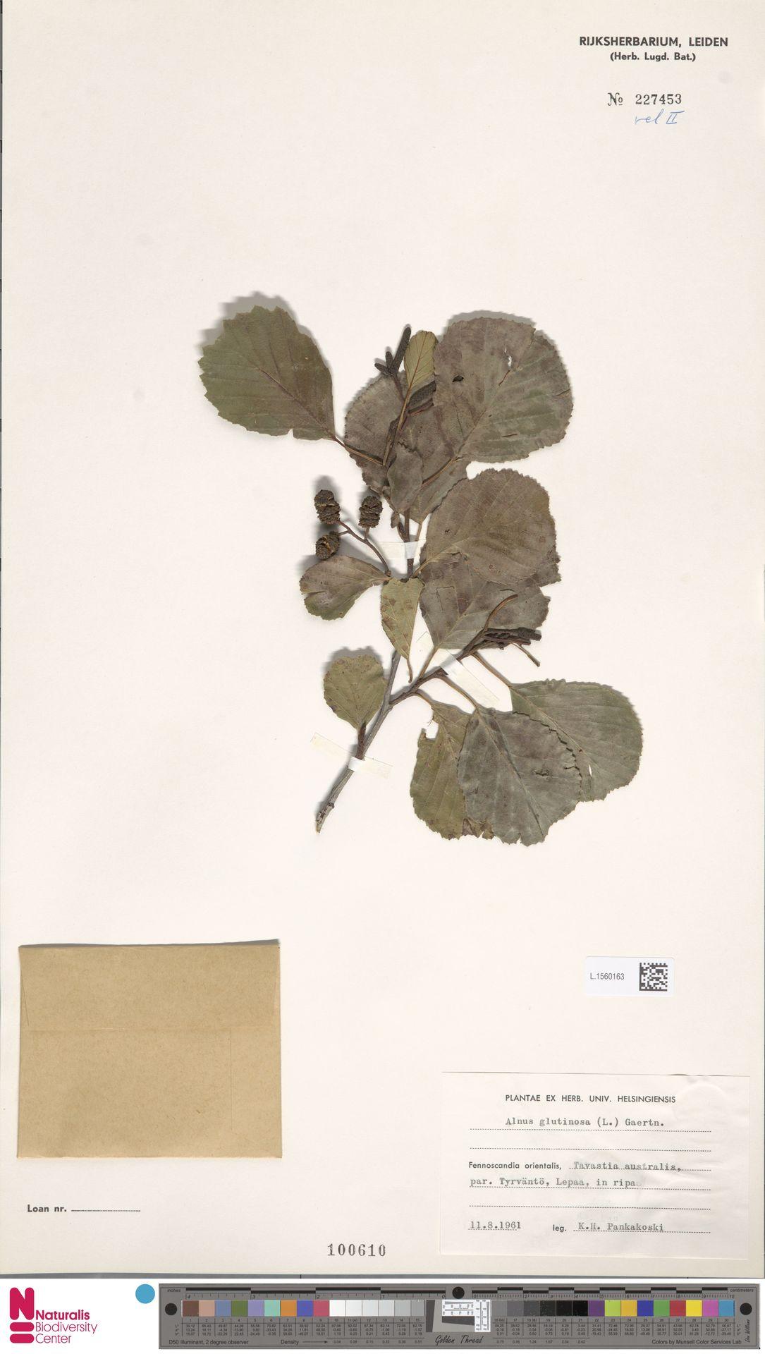 L.1560163 | Alnus glutinosa (L.) Gaertn.