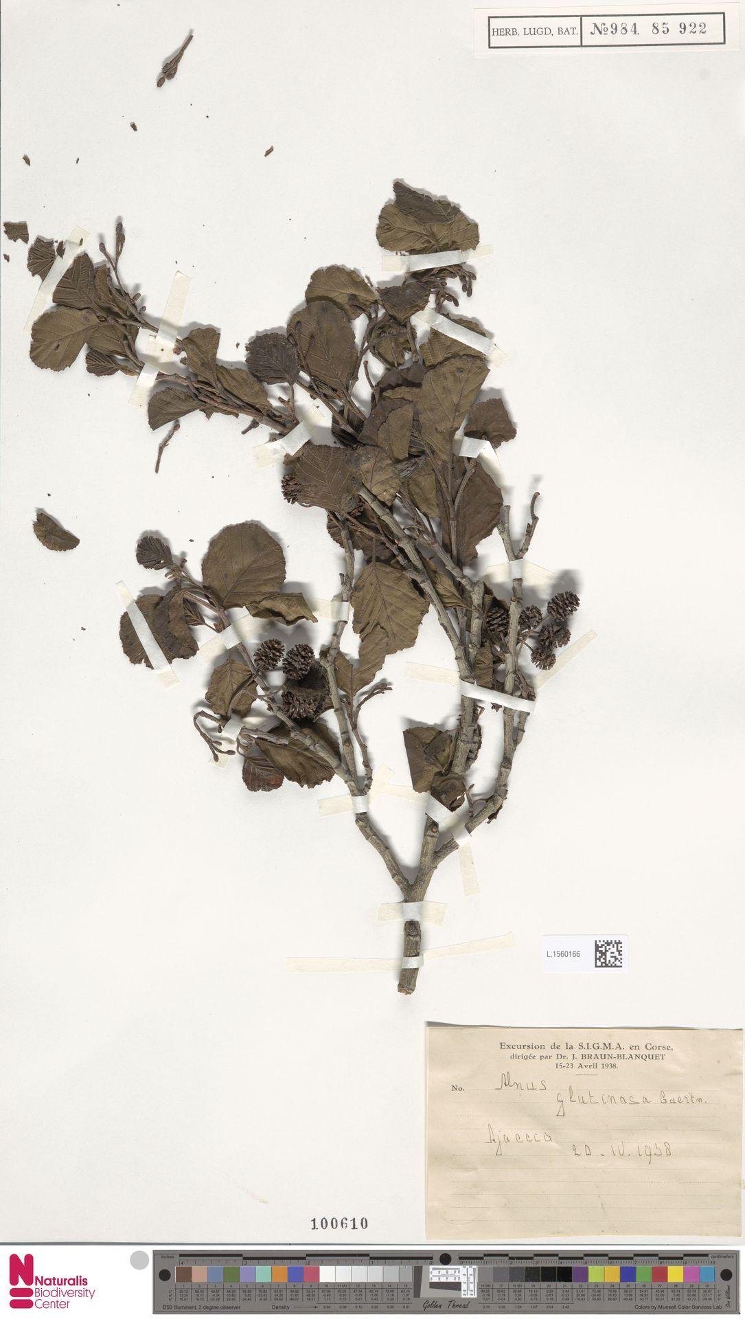 L.1560166 | Alnus glutinosa (L.) Gaertn.
