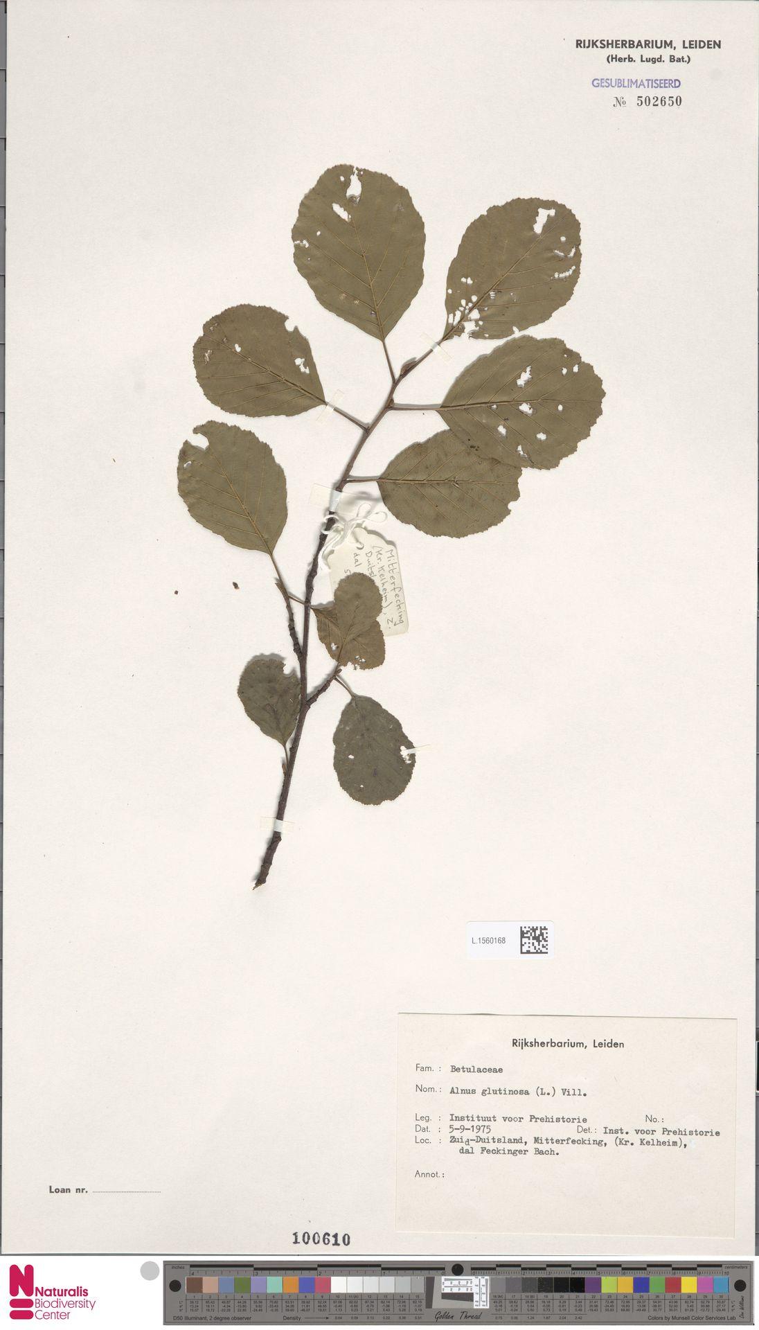 L.1560168 | Alnus glutinosa (L.) Gaertn.