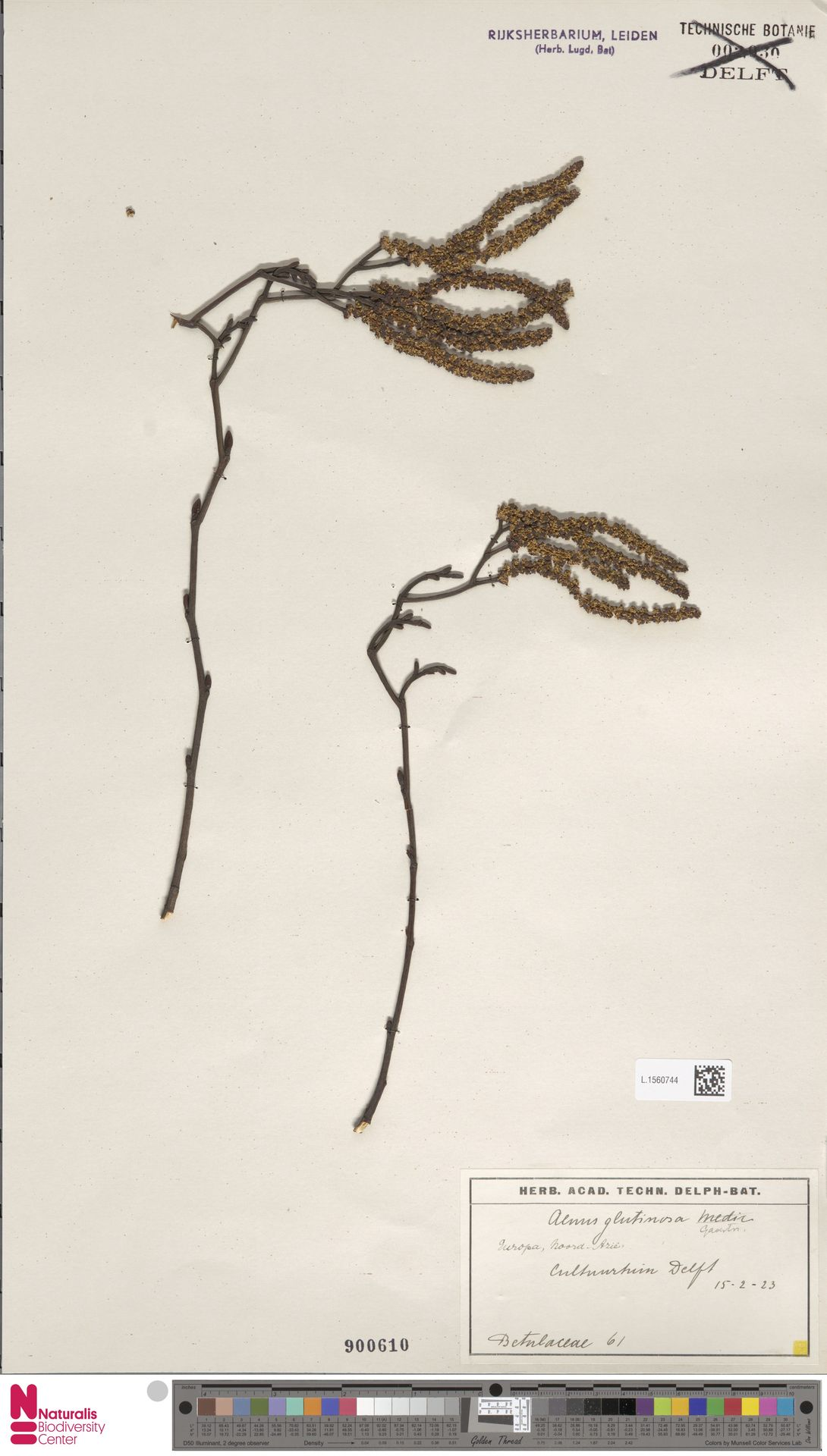 L.1560744 | Alnus glutinosa (L.) Gaertn.