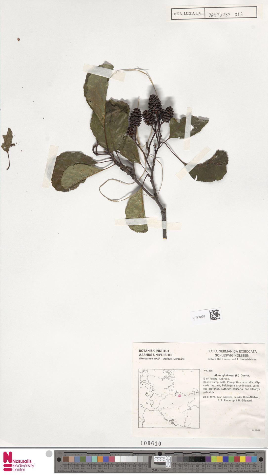 L.1560800 | Alnus glutinosa (L.) Gaertn.