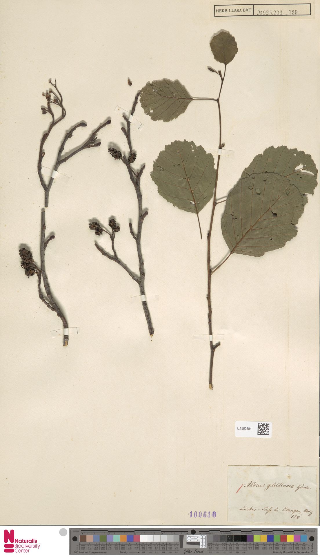 L.1560804 | Alnus glutinosa (L.) Gaertn.