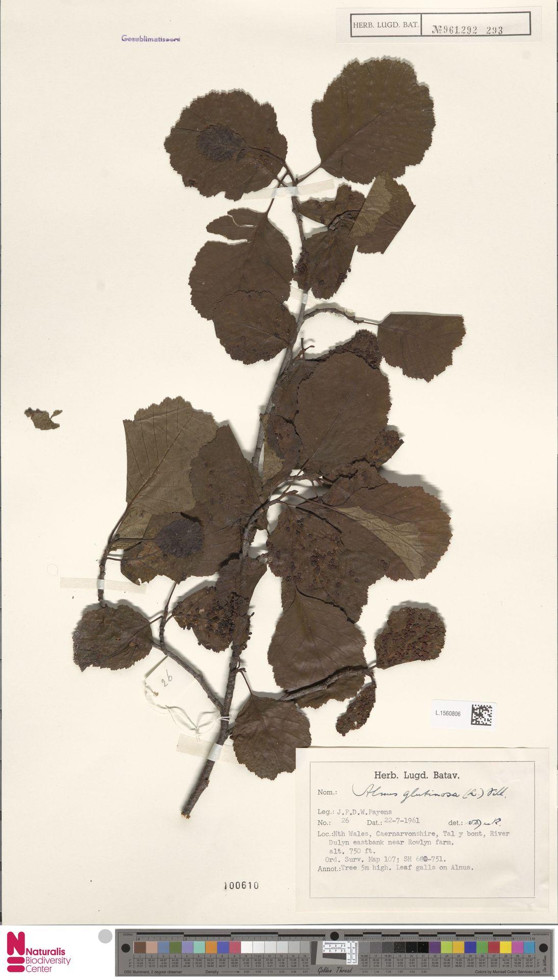 L.1560806 | Alnus glutinosa (L.) Gaertn.