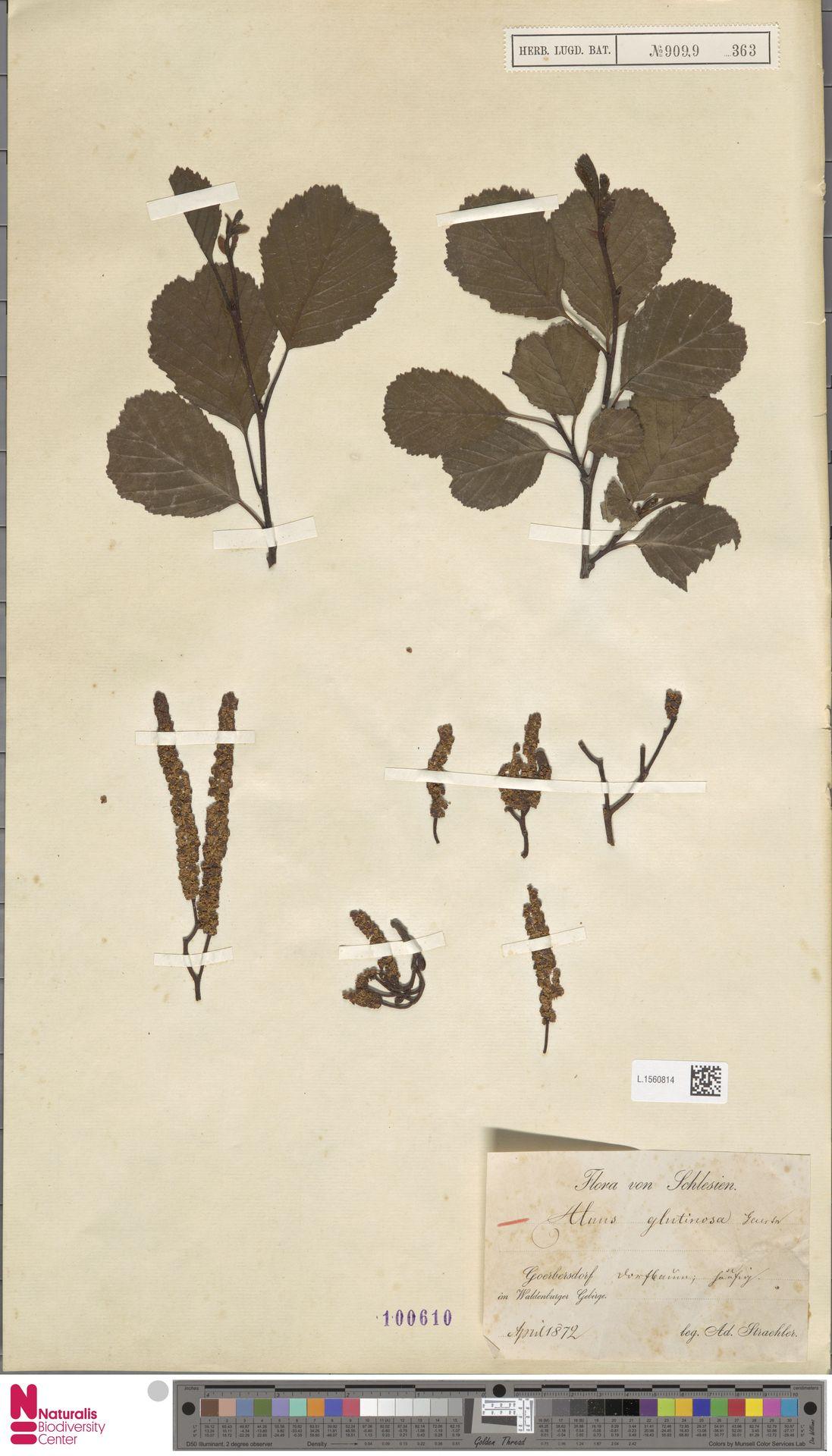 L.1560814 | Alnus glutinosa (L.) Gaertn.