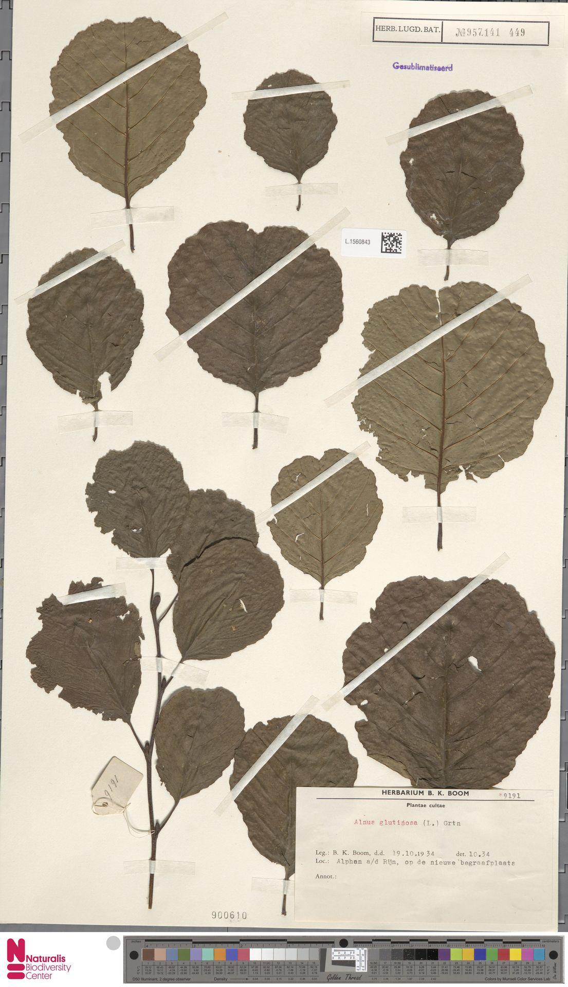 L.1560843 | Alnus glutinosa (L.) Gaertn.