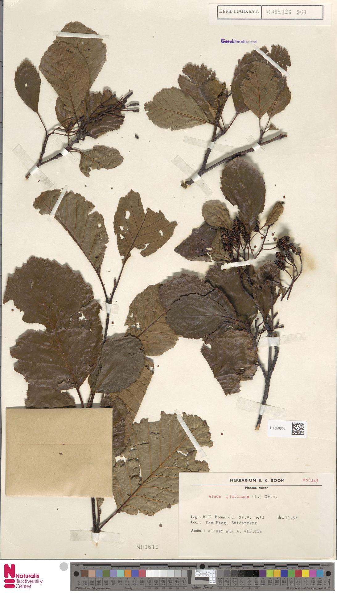 L.1560846 | Alnus glutinosa (L.) Gaertn.