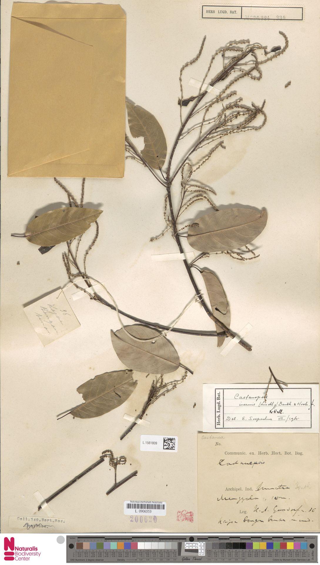 L.1561809   Castanopsis inermis (Lindl.) Benth. & Hook.f.
