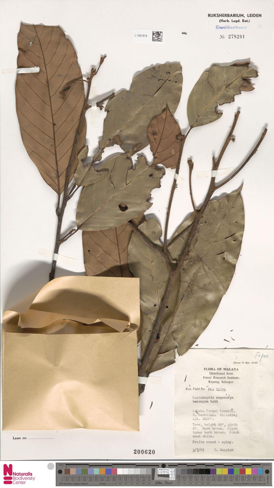 L.1561818 | Castanopsis megacarpa Gamble