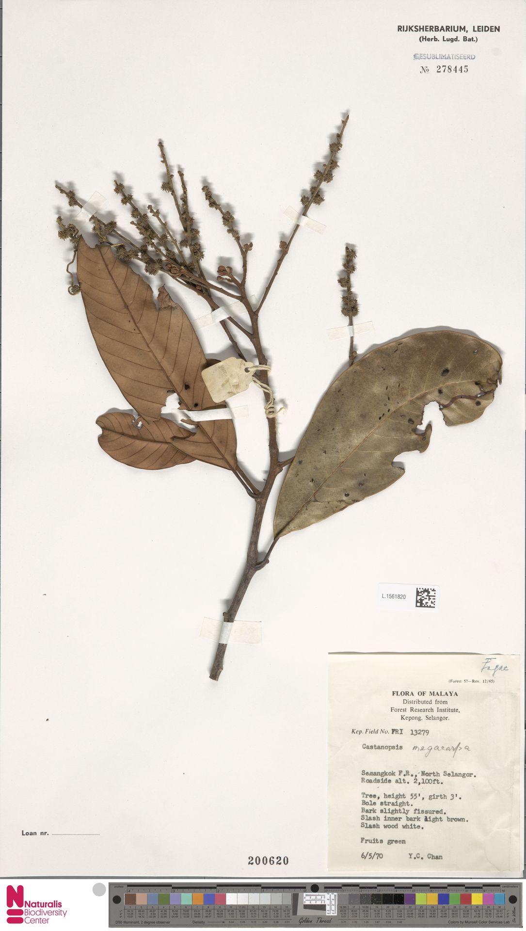 L.1561820 | Castanopsis megacarpa Gamble