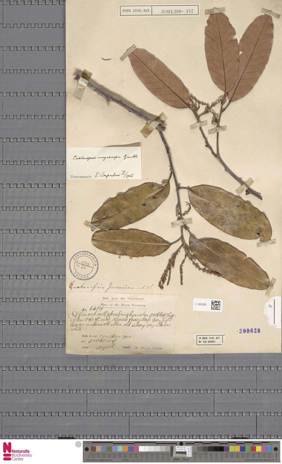 L.1561825 | Castanopsis megacarpa Gamble