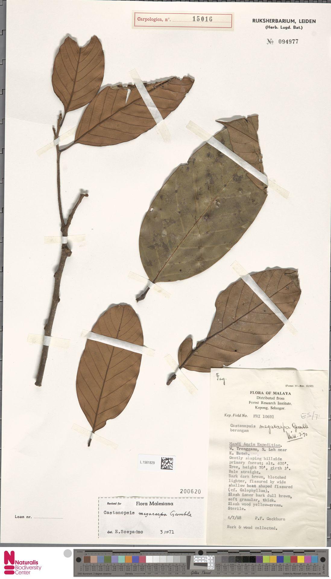 L.1561829 | Castanopsis megacarpa Gamble