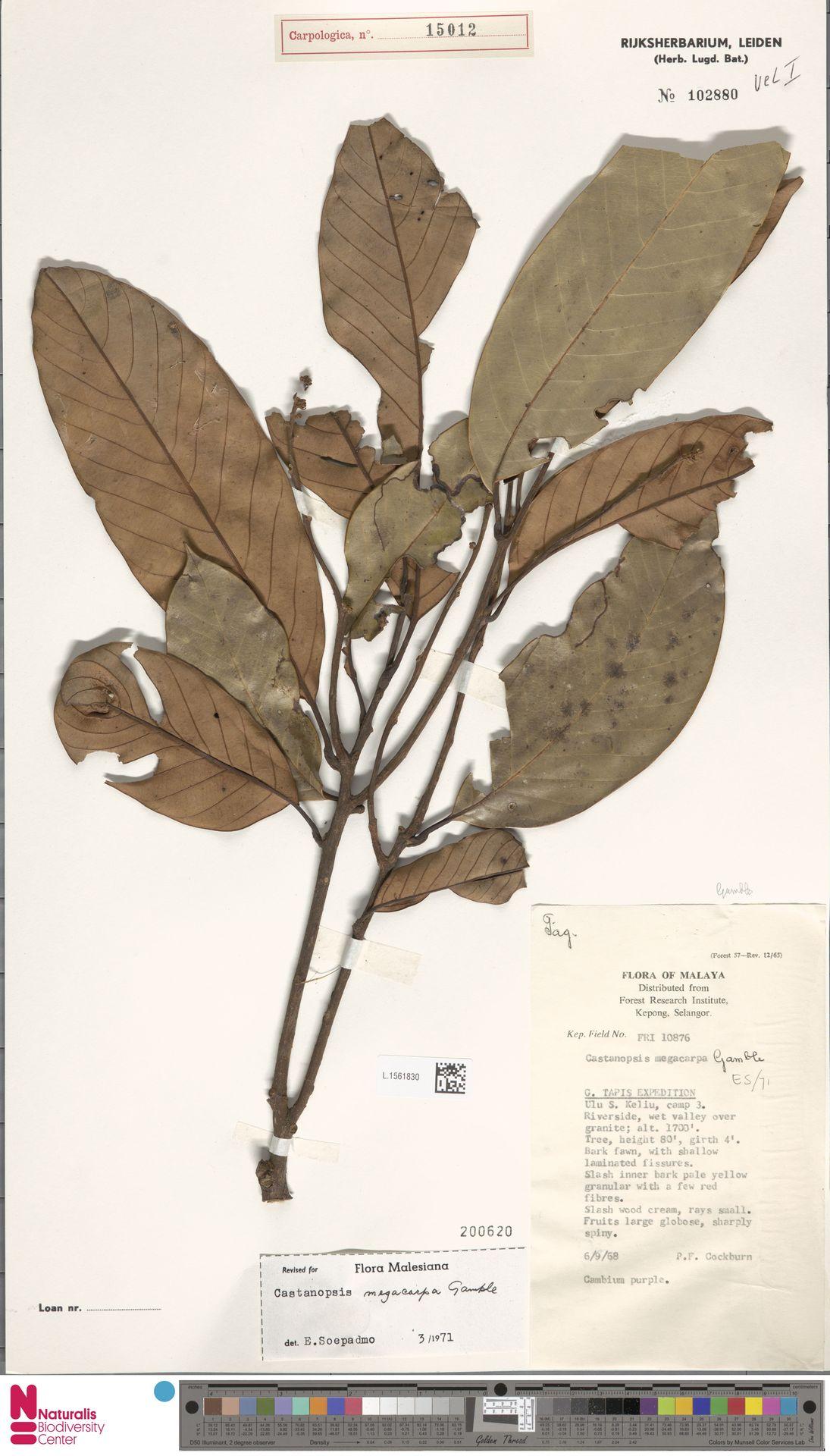 L.1561830 | Castanopsis megacarpa Gamble