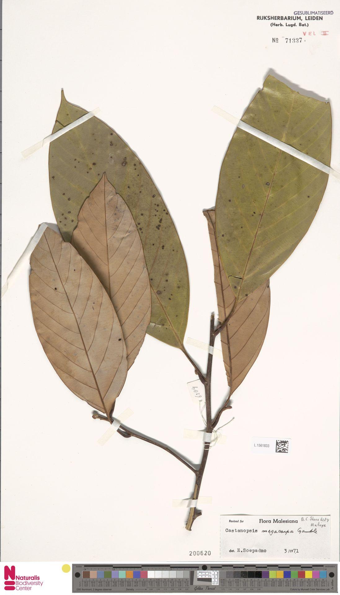 L.1561833   Castanopsis megacarpa Gamble
