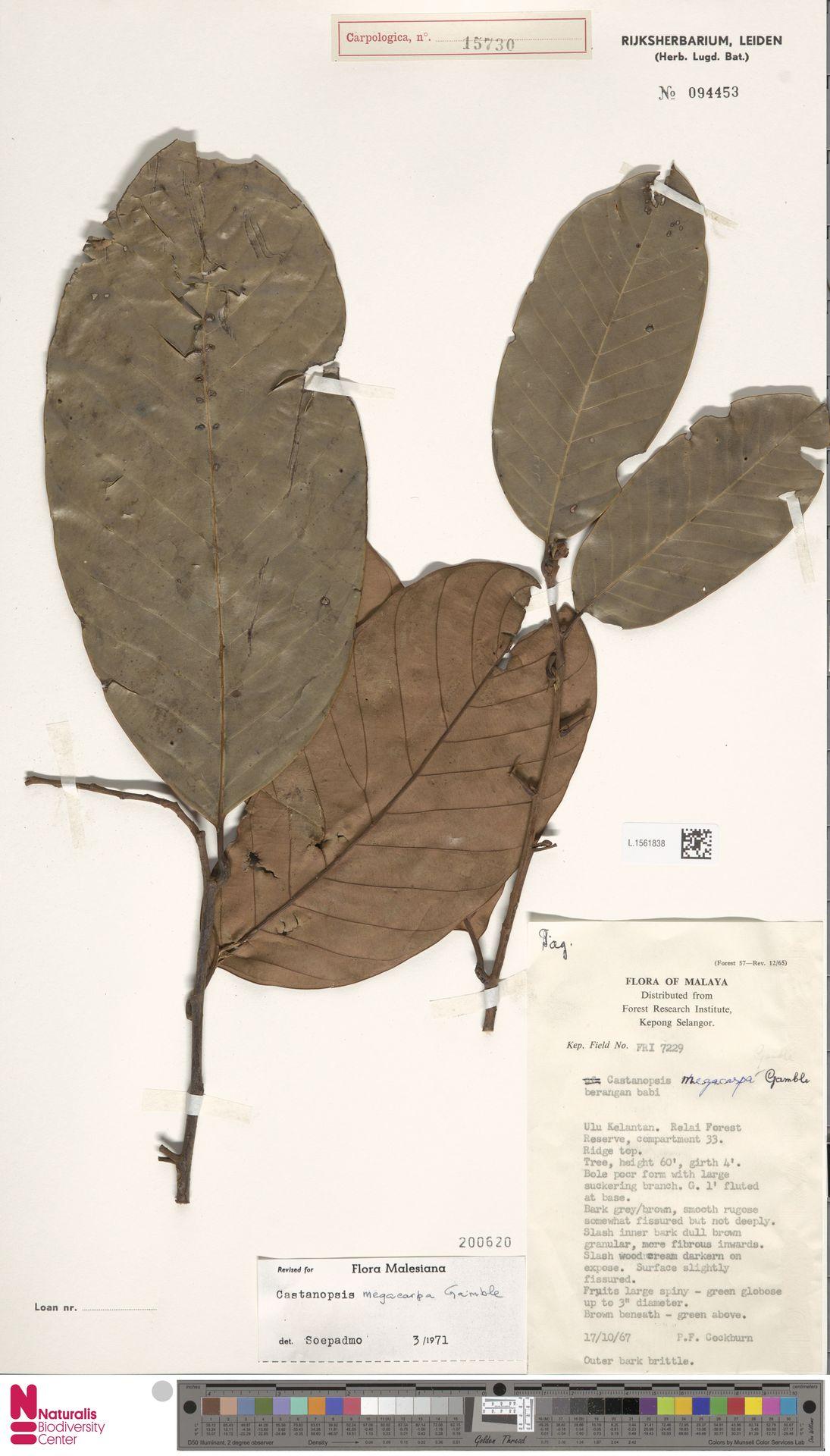 L.1561838   Castanopsis megacarpa Gamble