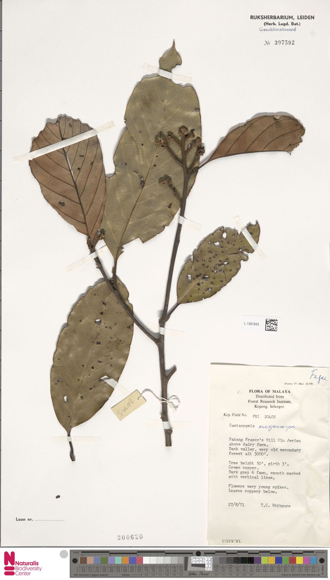 L.1561843 | Castanopsis megacarpa Gamble