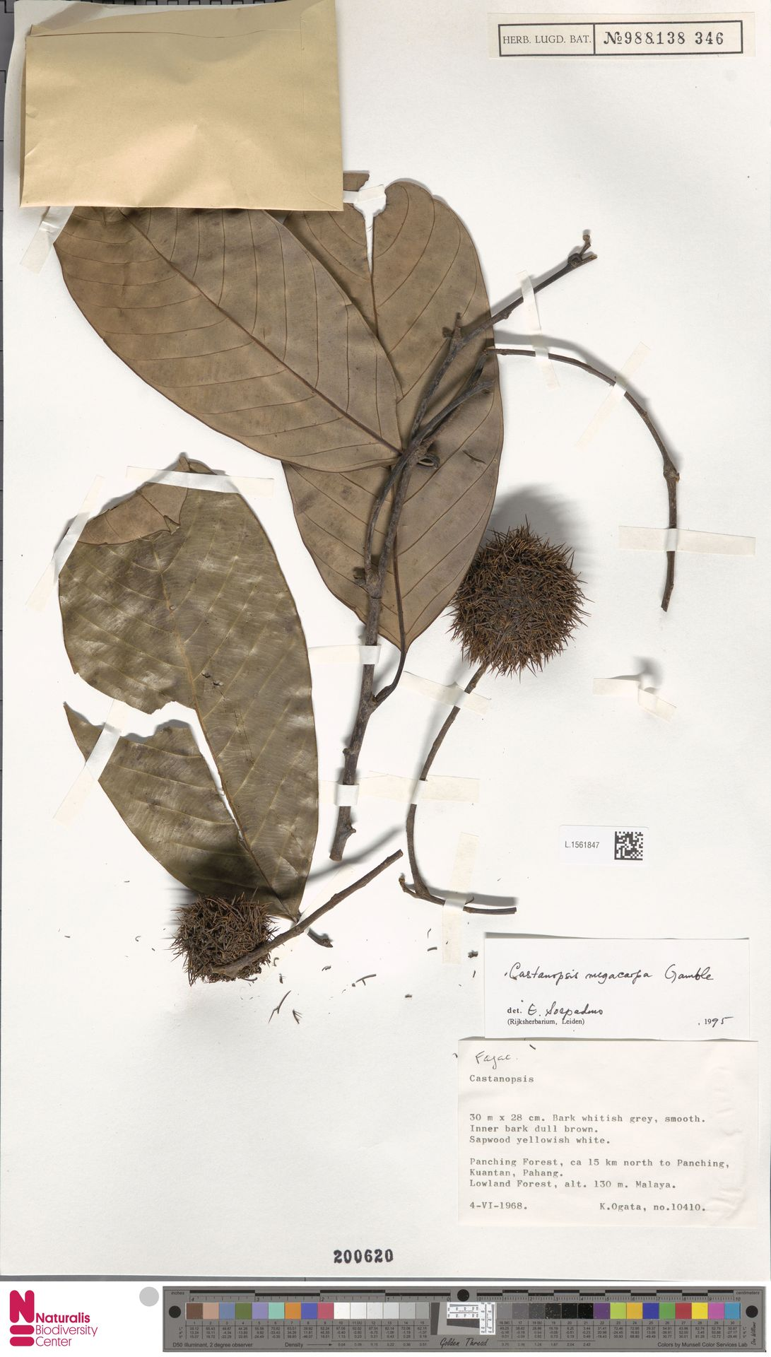 L.1561847 | Castanopsis megacarpa Gamble