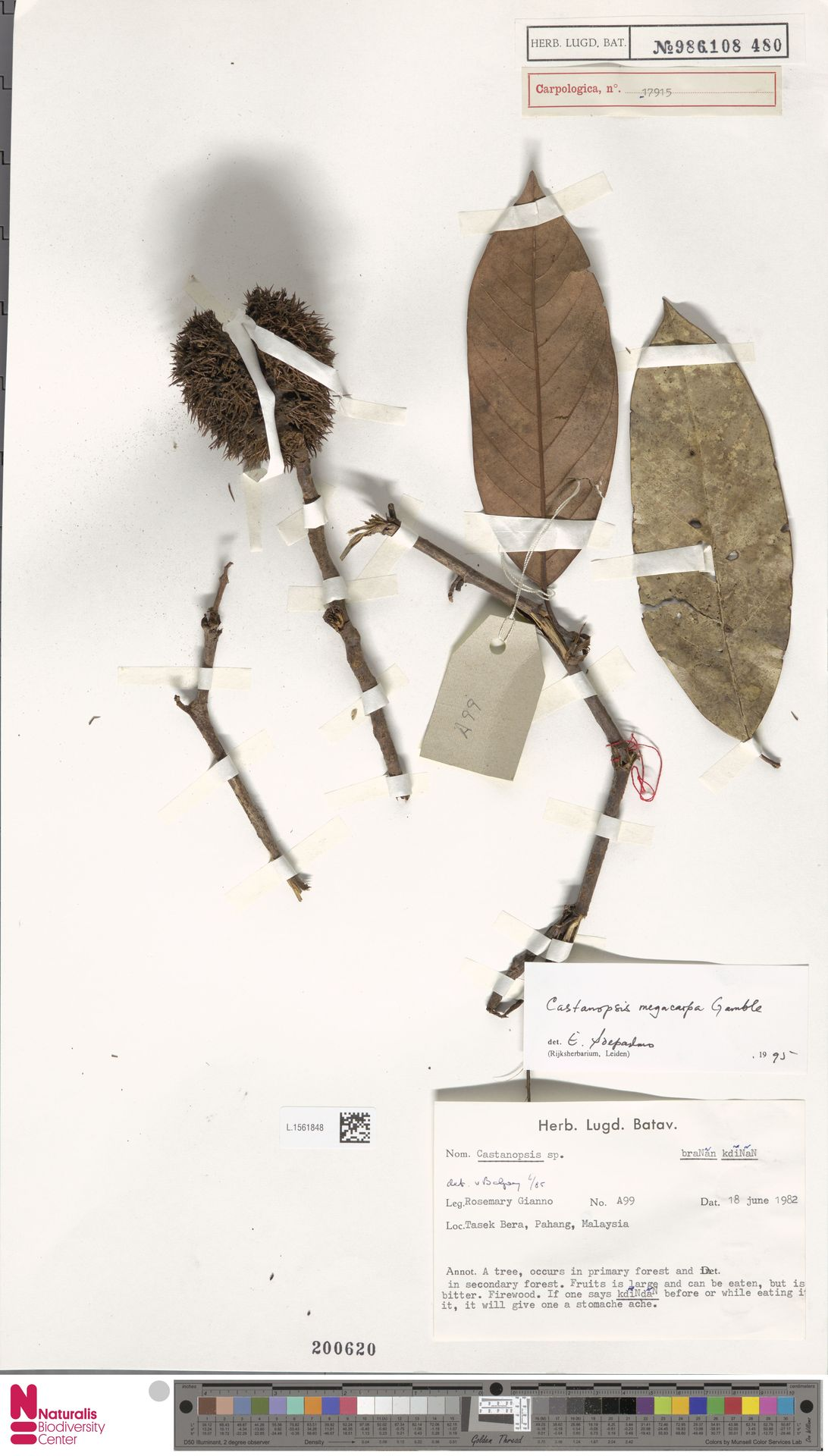 L.1561848 | Castanopsis megacarpa Gamble