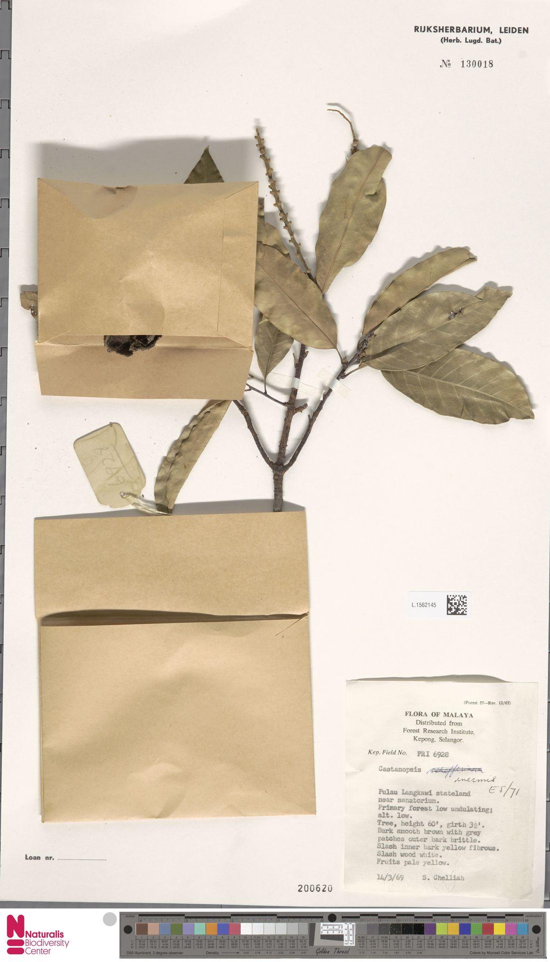 L.1562145 | Castanopsis inermis (Lindl.) Benth. & Hook.f.